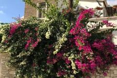 Choirokoitia-cipro-buganvillee-di-due-colori-rosa-e-bianca-palo