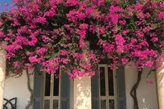 Anassa-hotel-Cipro-buganvillee-in-fiore-allingresso-sopra-le-finestre