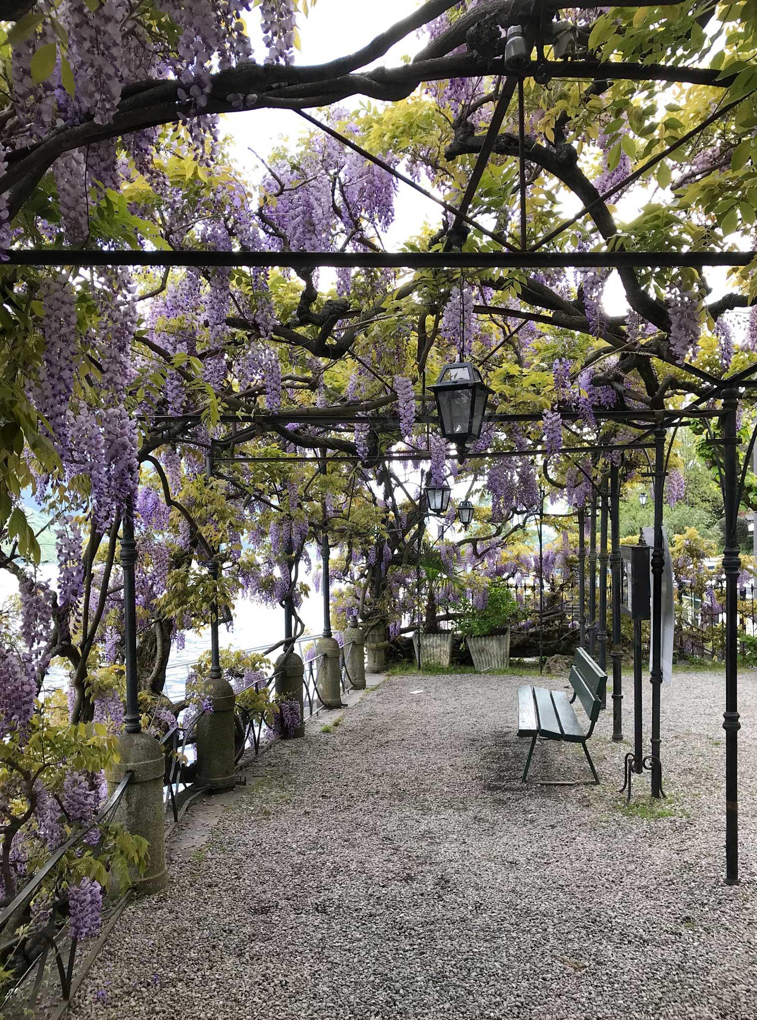Tremezzo-Cadenabbia-meraviglioso-pergolato-glicine-in-fiore-panchina