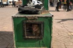 Piazza-Jamaa-el-fna-marrakech-scimmia-in-gabbia