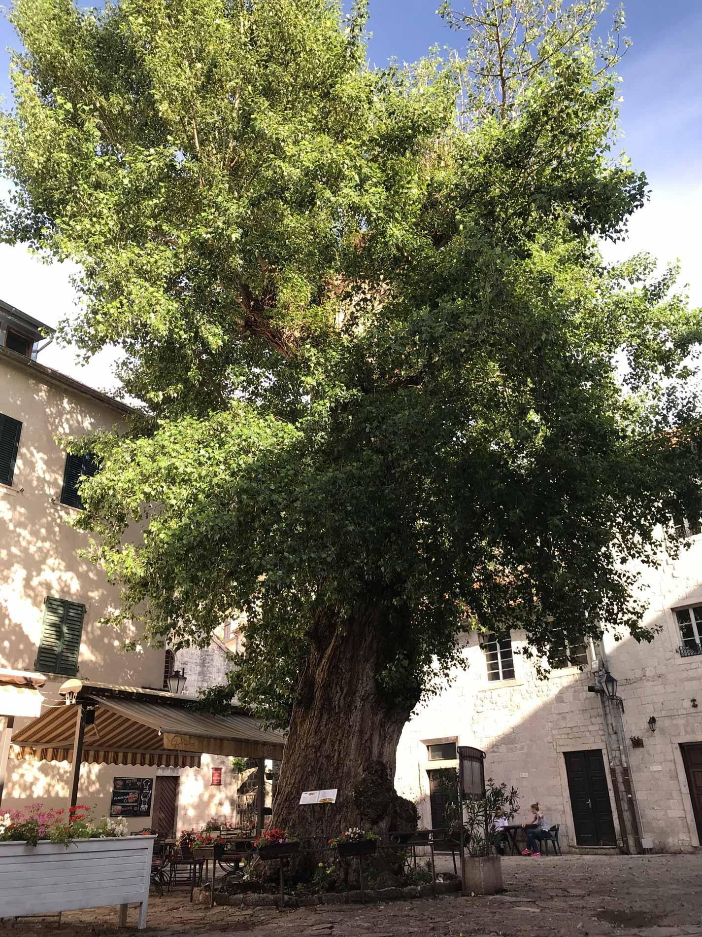 Kotor-Montenegro-Ulica1-albero-Pjaca-od-kina-cats-museum