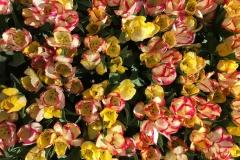 bellissimi-tulipani-gialli-e-arancio