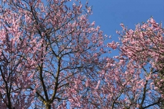 fioritura-di-pesco-fiori-rosa-parco-giardino-sigurta