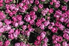 fioritura-di-tulipani-rosa-primavera-2019