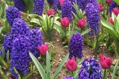 giacinti-viola-e-tulipani-rosa-aiuola-di-parco-sigurta