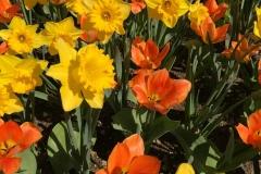 narcisi-gialli-e-tulipani-arancio-in-fiore