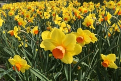 narcisi-in-fiore-a-parco-sigurta-marzo-primavera