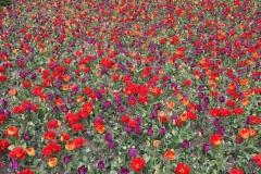 parco-giardino-sigurta-valeggio-sul-mincio-distesa-di-tulipani