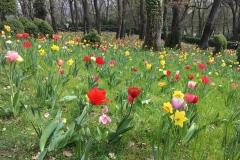 scorcio-del-prato-di-parco-sigurta-coi-tulipani-e-narcisi