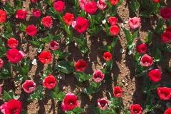 tulipani-rossi-in-fiore-a-parco-sigurta-marzo-primavera