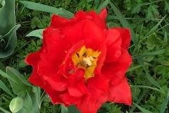 tulipano-rosso-fiorito-a-parco-sigurta
