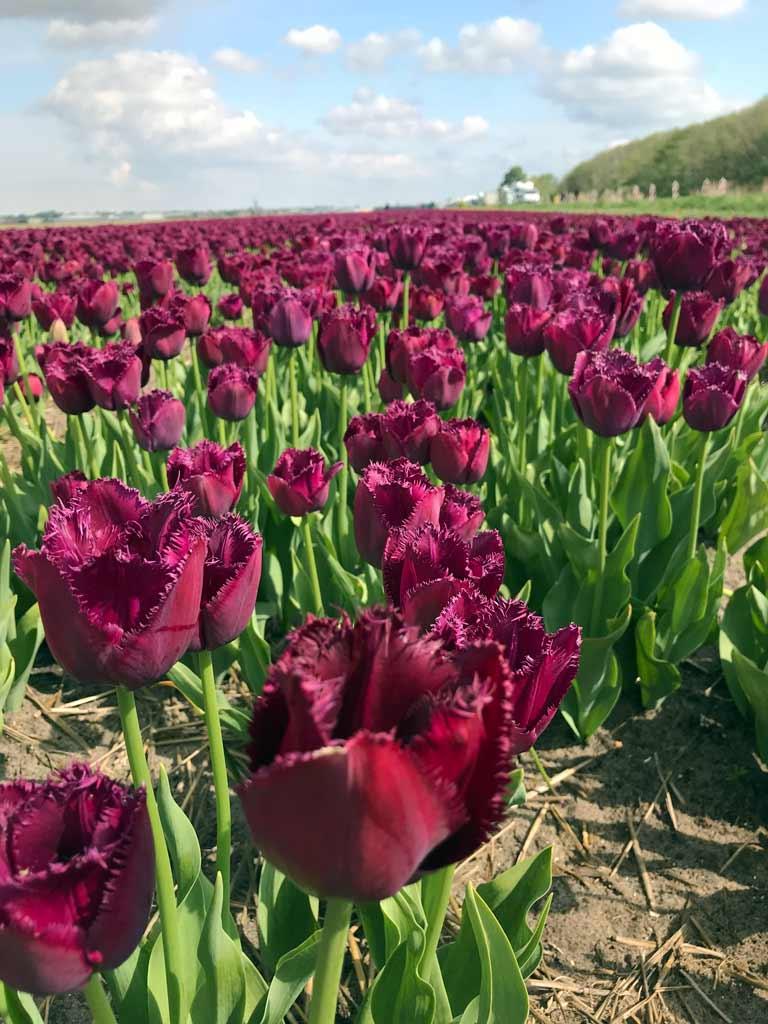 campo-di-tulipani-viola-attorno-a-lisse-in-olanda