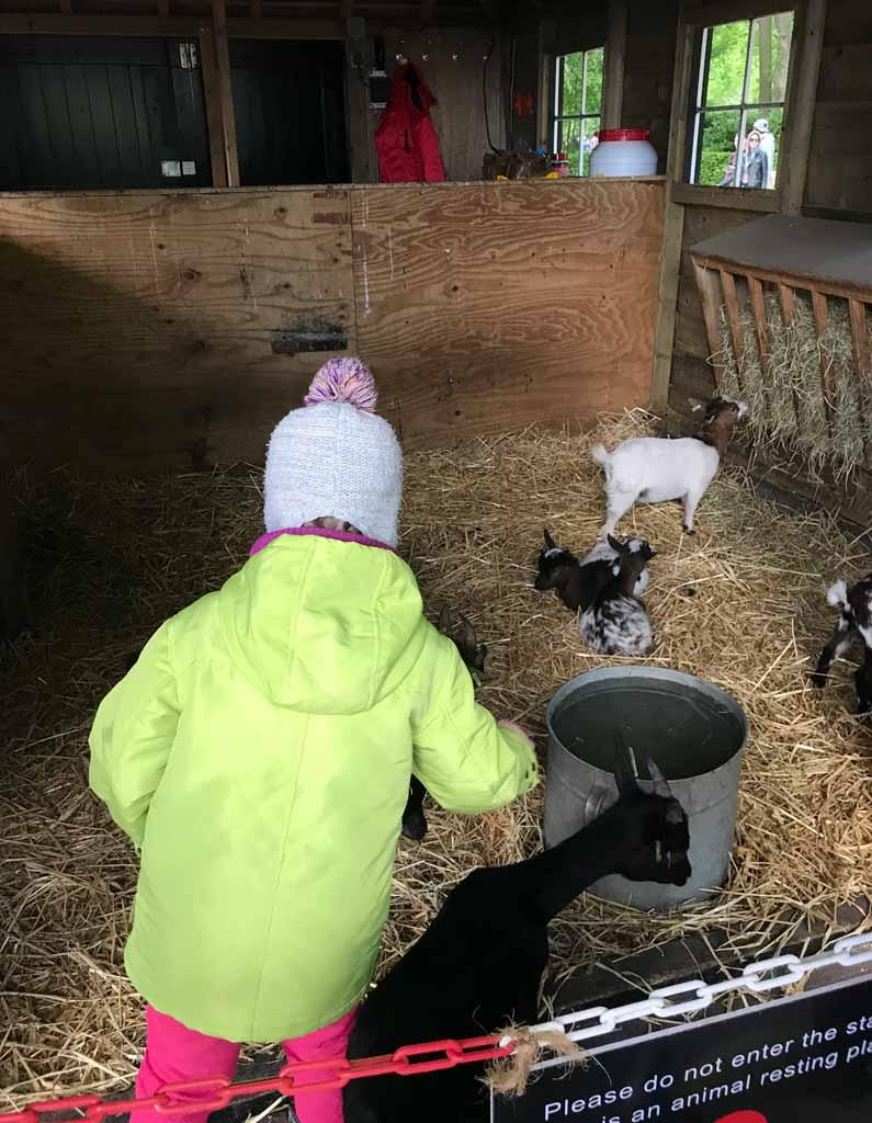 bambina-guarda-le-capre-dellarea-fattoria-di-parco-keukenhof