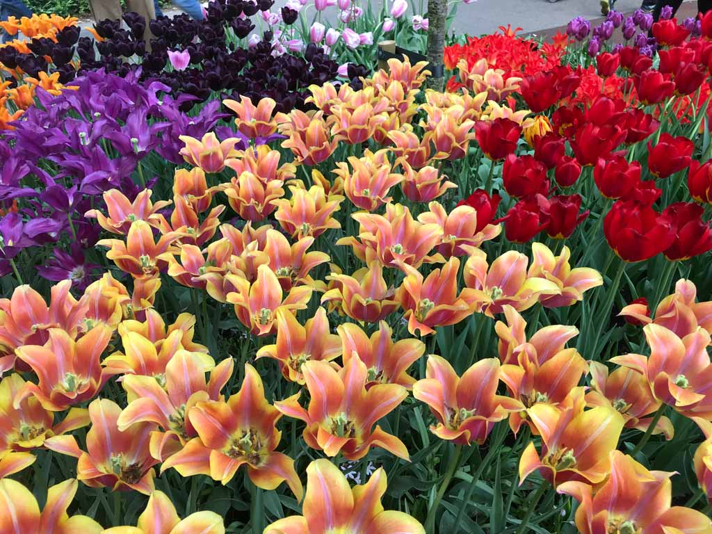 parco-keukenhof-ha-800-specie-diverse-di-tulipani