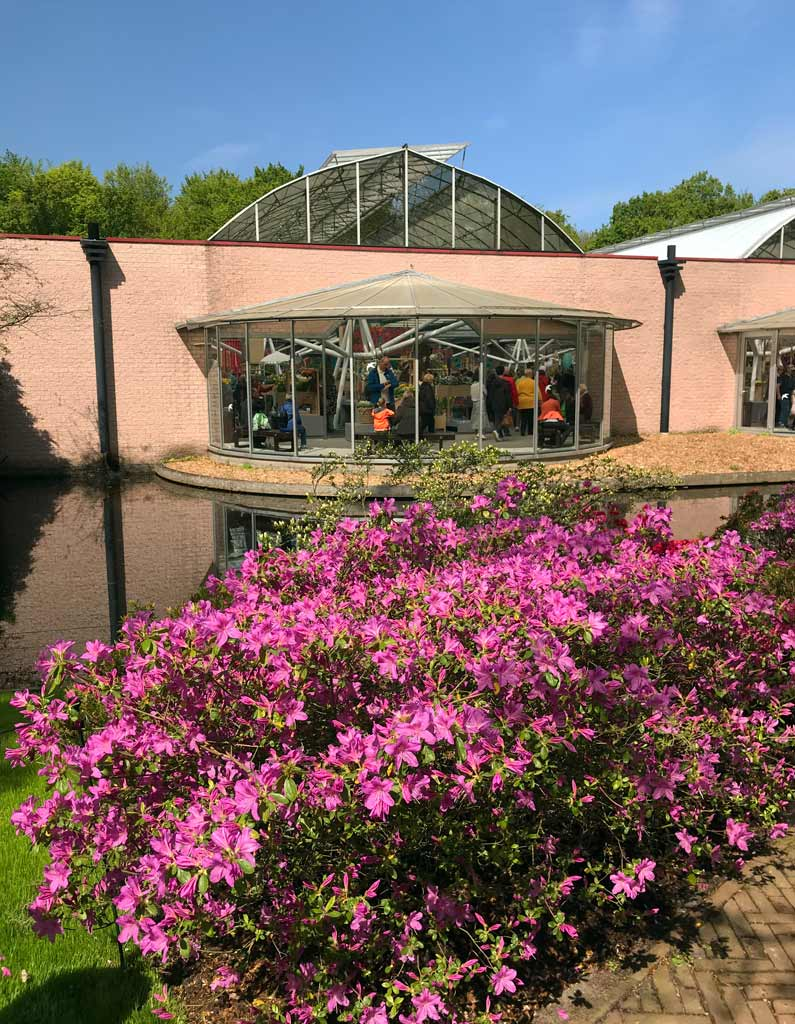 azalea-in-fiore-davanti-al-padiglione-willem-alexander-a-keukenhof