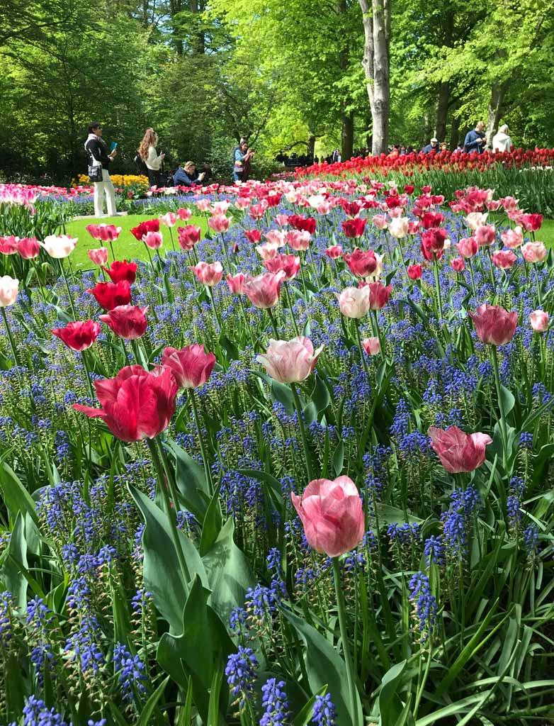 parco-di-keukenhof-olanda-tulipani-e-muscari-in-fiori