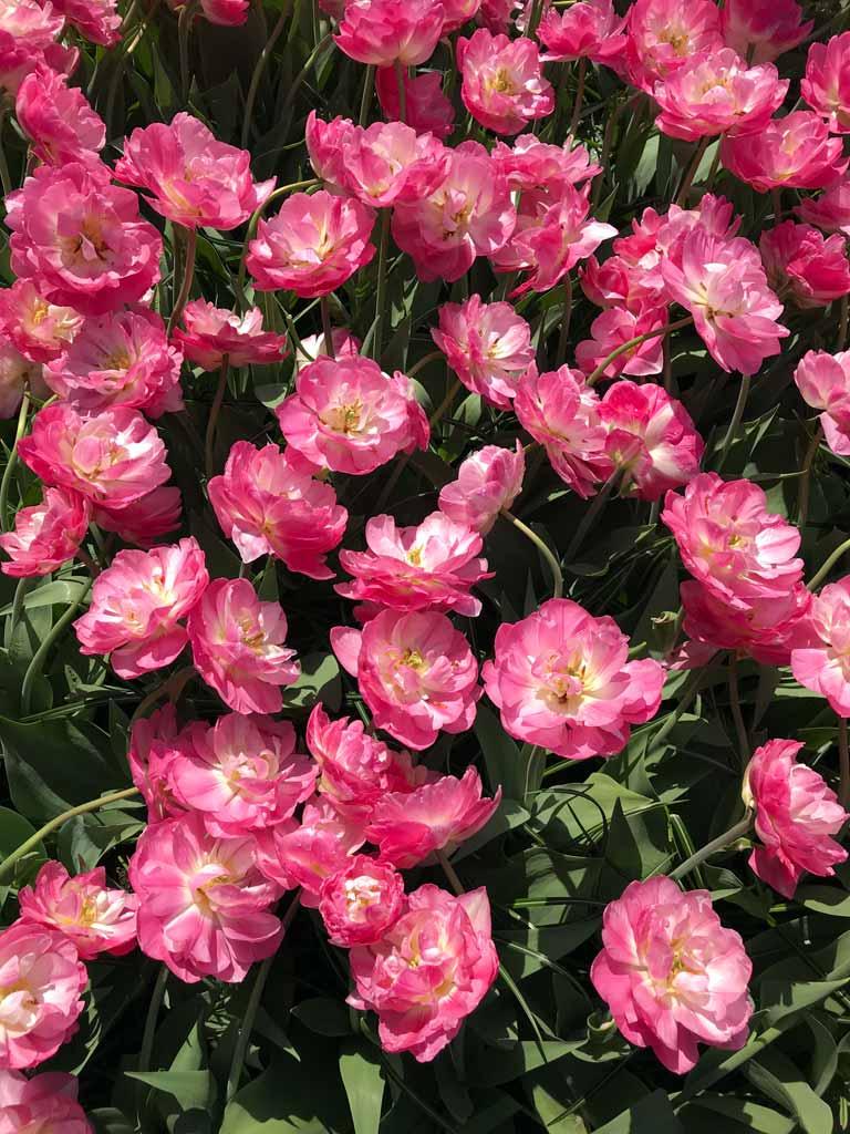 keukenhof-lisse-olanda-tulipani-rosa-simili-a-rose