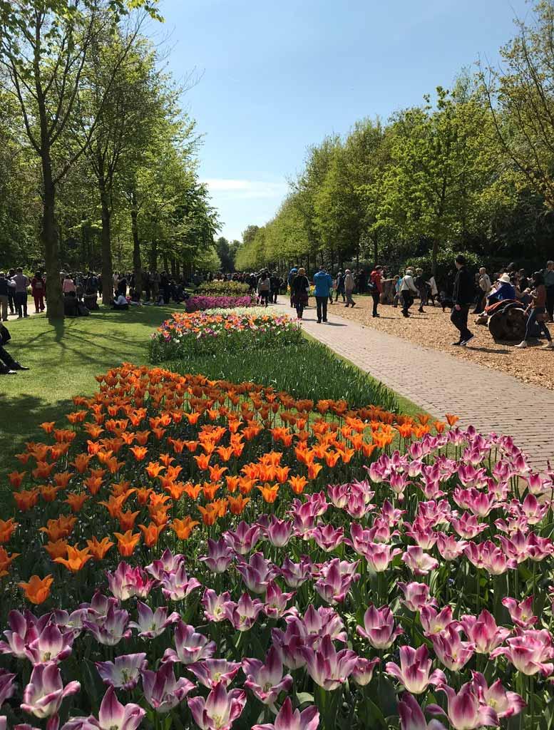 lungo-viale-costellato-di-tulipani-a-parco-keukenhof-olanda