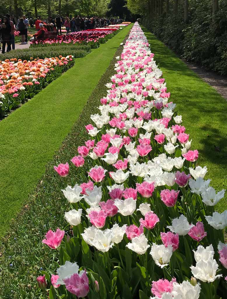 lungo-viale-costellato-di-tulipani-keukenhof-olanda