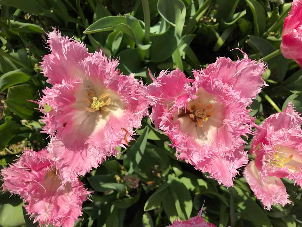 tulipani-rosa-sfrangiati-del-parco-keukenhof-in-olanda