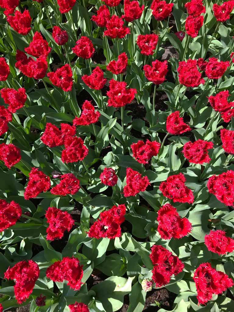 tulipani-barbados-rosso-fuoco-e-sfrangiati-parco-keukenhof