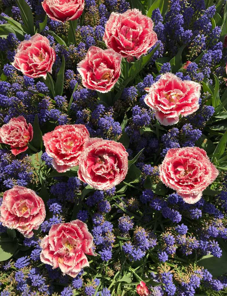 tulipani-rosa-simili-a-rose-e-muscari-blu-parco-keukenhof