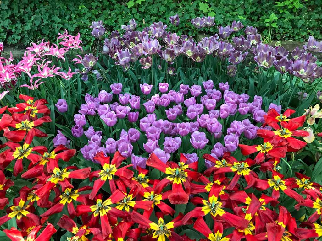 parco-keukenhof-lisse-olanda-tulipani-colorati-in-fiore-di-varie-specie