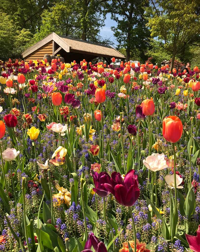 mix-di-tulipani-nel-parco-di-keukenhof-a-lisse-in-olanda