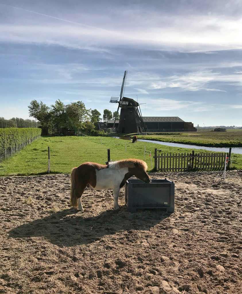 poni-con-mulino-a-vento-nelle-campagne-attorno-a-lisse-in-olanda
