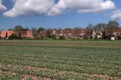 campo-di-tulipani-sfioriti-in-olanda