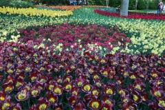 keukenhof-2019-lisse-olanda-distesa-di-tulipani-colorati-in-fiore