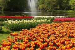tulipani-in-fiore-a-parco-keukenhof-olanda-laghetto-getto-dacqua