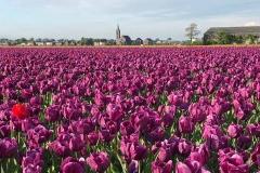 campo-di-tulipani-viola-attorno-a-de-zilk-in-olanda