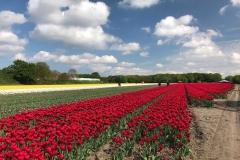 fioritura-di-tulipani-in-olanda-vogelenzag-campo-di-tulipani-rossi