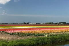 fioritura-tulipani-olanda-campi-di-tulipani-a-de-zilk-in-olanda-in-primavera