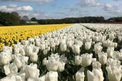fioritura-tulipani-olanda-vogelenzag-campo-di-tulipani-bianchi-e-gialli
