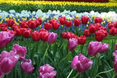 parco-keukenhof-strisce-di-tulipani-colorati-in-fiore
