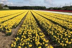 viaggio-in-olanda-per-la-fioritura-dei-tulipani-campo-di-tulipani-gialli-a-vogelenzag